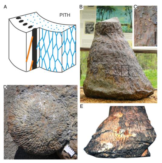 Палеонтологи отыскали окаменелый ствол одного изпервых напланете деревьев