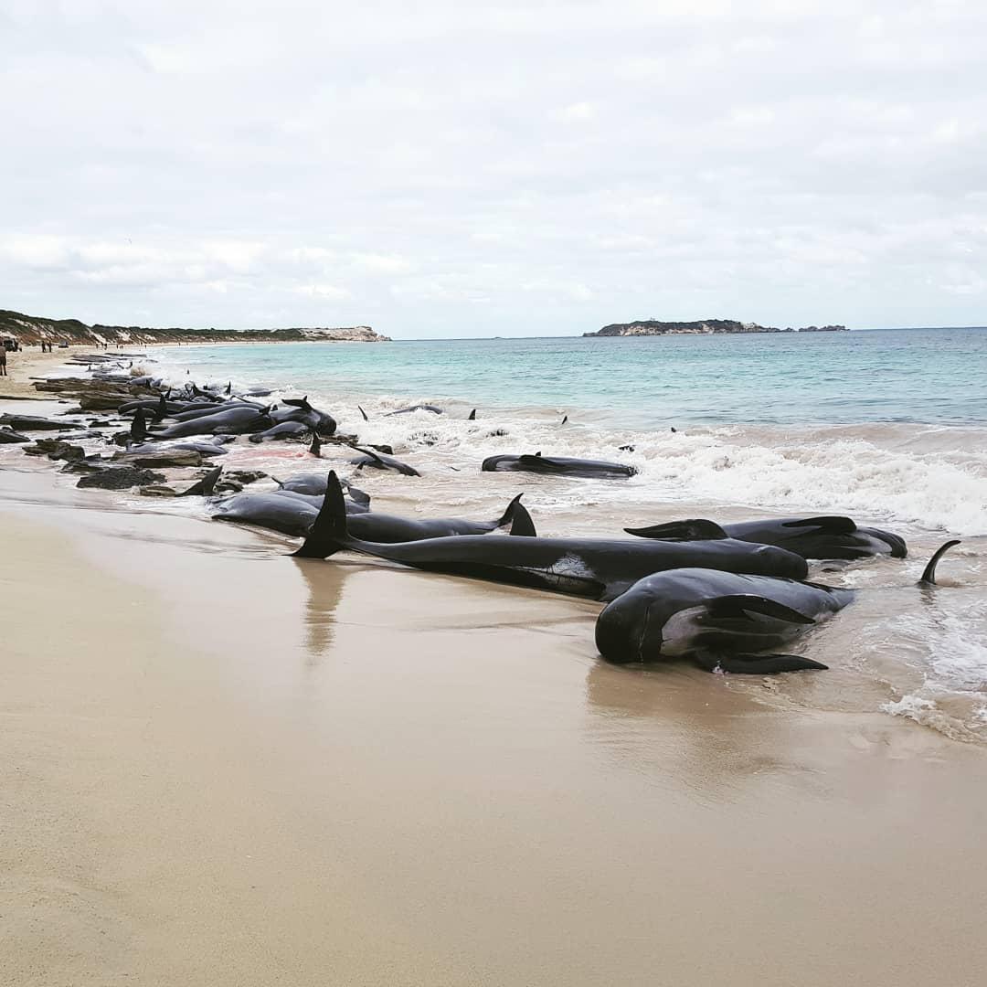ВАвстралии 150 темных дельфинов выбросились наберег