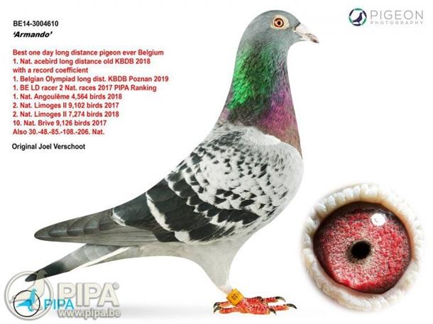 Почтового голубя продали на аукционе за 1 млн евро