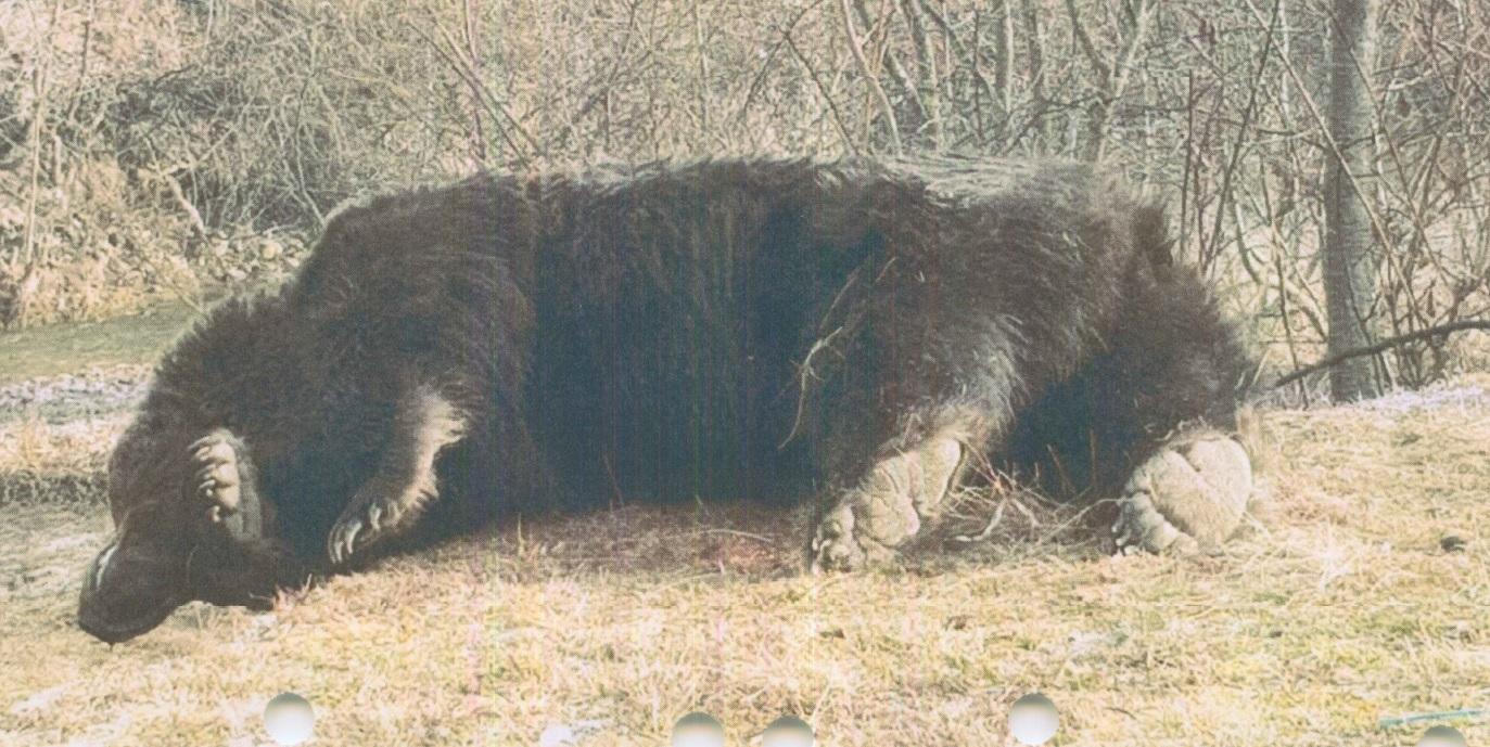 Принц Лихтенштейна убил самого большого медведя в Евросоюзе
