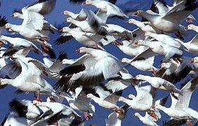 Летят перелетные птицы...