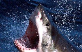 Голодная белая акула