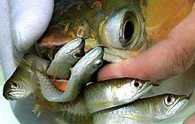 Так рожают рыбы