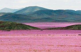 Пустыня покрылась цветами (Global Look)