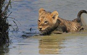 Бедный львенок едва преодолевает брод
