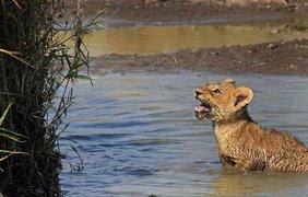 Львенок жалобно зовет маму на помощь
