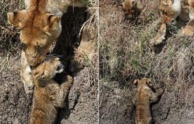 В последний момент львице удается спасти малыша