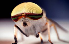 Полосатая лошадиная муха, Tabanus lineola. (Thomas Shahan)