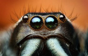 Прыгающий паук, Paraphidippus aurantius. (Thomas Shahan)