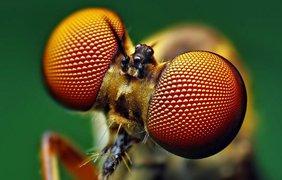 Муха ктырь, Holcocephala fusca. (Thomas Shahan)