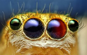 Самка прыгающего паука, Maevia inclemens. (Thomas Shahan)