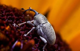 Крошечный жук долгоносик ползет по цветку. (Thomas Shahan)
