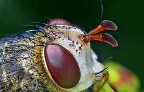 Белолицая муха, Archytas apicifer. (Thomas Shahan)