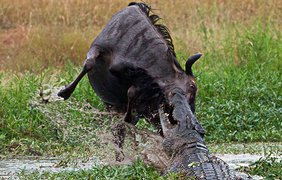 Антилопа, как могла, сопротивлялась, но крокодил оказался сильнее
