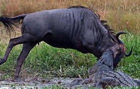 Крокодил подкрался и вцепился зубами в антилопу