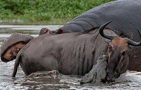 Охотник и жертва потревожили бегемота, который дико разозлился