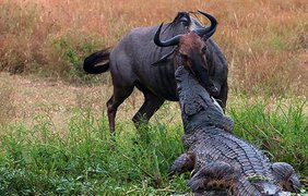 Сильная жажда ослабила бдительность антилопы гну