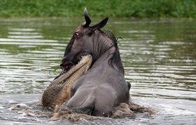 Крокодил начал тащить жертву на глубину