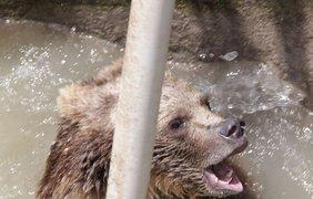 Медвежонок научился карабкаться по лестнице, спасаясь от смерти