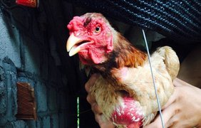 Цена за такого цыпленка-мутанта достигает $2500