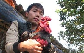 Выращивать этих кур очень тяжело. Поэтому эти цыплята так высоко ценятся.