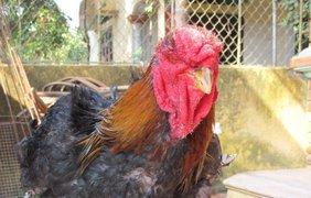 Эта порода кур называется Донг Тао