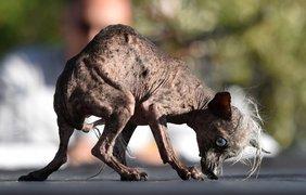 Китайская хохлатая собака по кличке Свипи Рэмбо