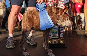Победитель Конкурса на самую уродливую собаку, пёс по кличке Квазимодо