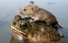 Лягушка «Мазай» спасает мышонка во время паводка в пригороде индийского Лакхнау.