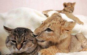 Львенок отлично уживается с другими обитателями харьковчанки Татьяны Ефремовой. В частности, с домашней кошкой.