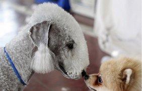 В отличие от большинства людей, конкуренты на международной выставке собак в Афуле, Израиль, отлично общаются.