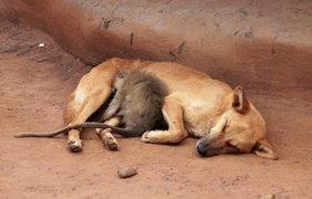 Безымянные пес и обезьянка мирно спят в лагере беженцев на севере Уганды.