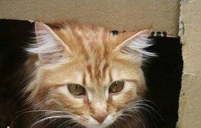 Годовалый котенок Нимра не по своему возрасту оказался взрослым, заменив мать семерым цыплятам, Амман, Иордания.