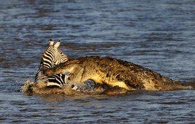 Крокодилы накинулись на зебру. Фото Паоло Торчио