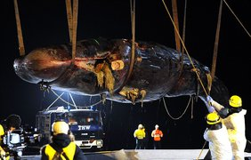 Кашалоты могут достигать 18 метров в длину и весить до 45 тонн