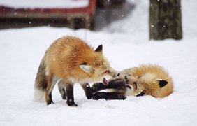 В Японии деревню заполонили лисицы (фото: Vk)