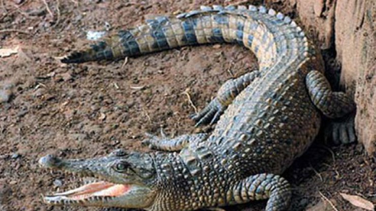 Нападение огромного крокодила намолодую пару вЗимбабве попало навидео