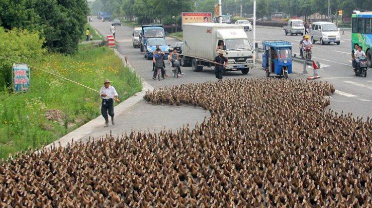 В «Поднебесной» предпосылкой дорожной пробки стали 20 тысяч уток-пешеходов