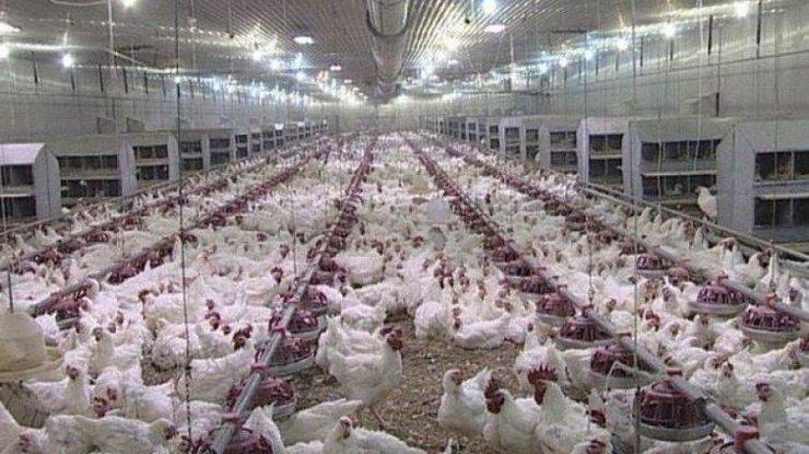 Картинки по запросу Более 300 тыс. кур забьют в Японии из-за птичьего гриппа