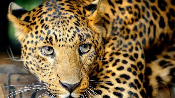 ВИндии натерриторию школы забежал леопард, есть раненые