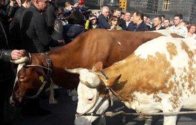 Олег Ляшко пикетирует Кабмин с коровами