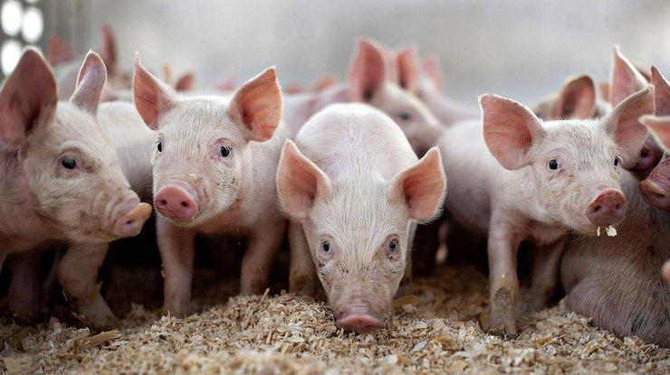 НаПолтавщине произошла вспышка африканской чумы свиней