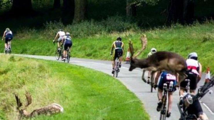 ВИрландии олень сбил велосипедиста, участвовавшего втриатлоне