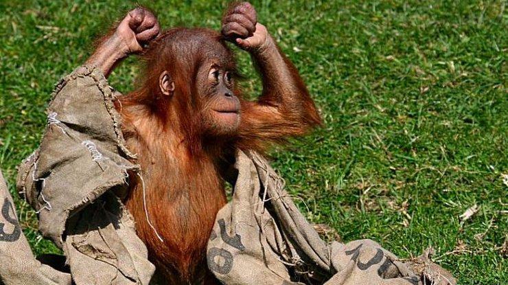 Орангутанг покорил сеть «брейк-дансом»