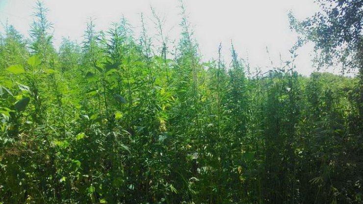 ВЧеркасской обл. уничтожили плантацию марихуаны стоимостью свыше 10 млн грн