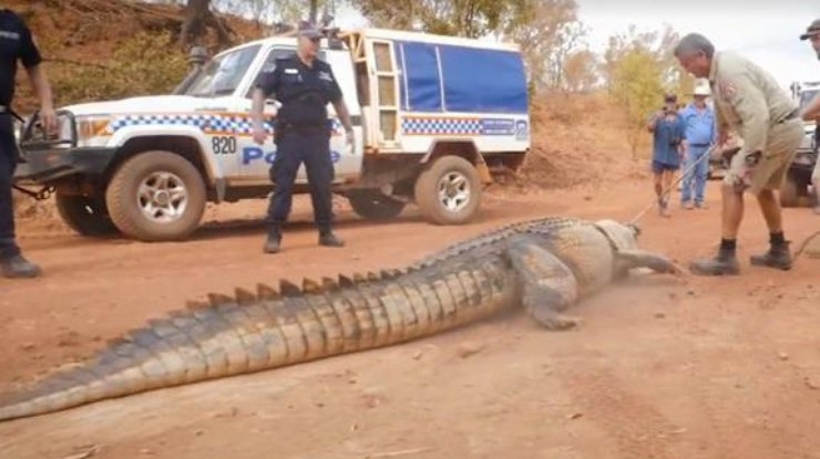 ВАвстралии словили гигантского крокодила