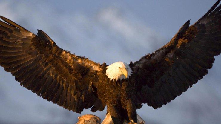 ВНидерландах милиция натренированными орлами ловит дроны