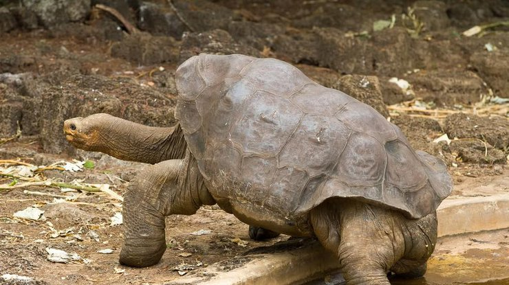 Галапагосская черепаха отдельно спасла собственный вид отвымирания