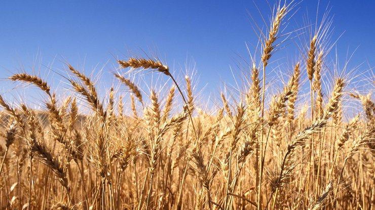 Глобальное потепление оставит людей без риса ипшеницы к 2070г.