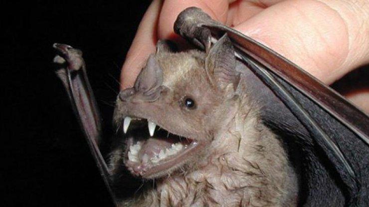 Летучие мыши-вампиры переключились накровь людей— ученые
